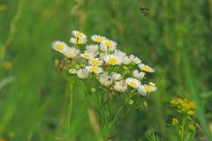在领域的春黄菊 免版税库存照片