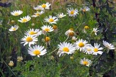在领域的春黄菊 免版税库存图片