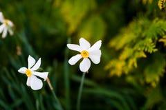 在领域的春黄菊aginst夏令时 库存图片