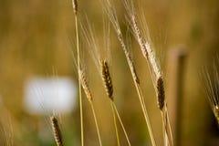 在领域的未成熟的einkorn小麦属植物monococcum 免版税库存图片