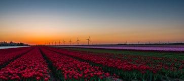 在领域的桃红色和红色郁金香在日出 库存照片
