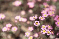 在领域的桃红色野花 美丽的宏观春天主题郁金香 库存照片