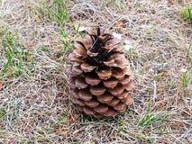 在领域的棕色松树锥体 免版税库存照片