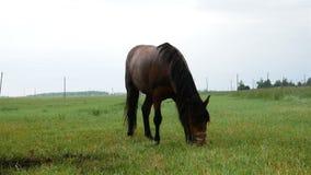 在领域的棕色马吃着草 高加索dombai横向本质夏天 股票视频