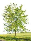 在领域的槭树 库存照片