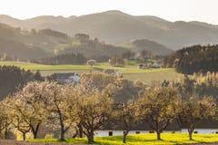 在领域的樱桃树和小山在诺伊马尔克im Muehlkreis 免版税图库摄影