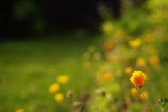 在领域的橙色花 库存图片