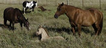 在领域的母亲和小马 免版税库存照片