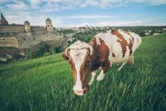 在领域的母牛与在bcakground的老城堡 图库摄影
