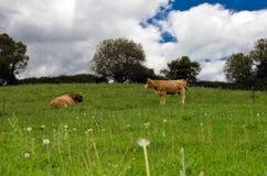 在领域的母牛与多暴风雨的天气 免版税图库摄影