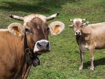 在领域的母牛画象 图库摄影
