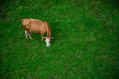 在领域的母牛 免版税库存照片