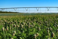 在领域的水滴灌溉系统 免版税库存照片