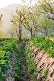 在领域的泰国种田的草莓莓果 库存图片