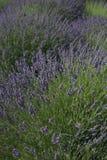 在领域的淡紫色 免版税库存照片