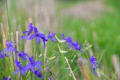在领域的淡紫色花 免版税库存图片