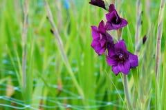 在领域的深紫罗兰色剑兰花和庭院种田 对精采秀丽和诺言的表示法 免版税库存照片