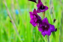 在领域的深紫罗兰色剑兰花和庭院种田 对精采秀丽和诺言的表示法 库存图片