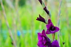 在领域的深紫罗兰色剑兰花和庭院种田 对精采秀丽和诺言的表示法 免版税库存图片