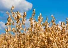 在领域的燕麦钉 免版税库存照片