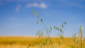 在领域的燕麦 免版税库存照片