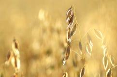 在领域的燕麦 免版税图库摄影
