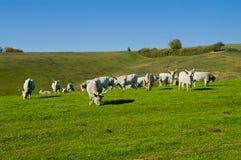 在领域的牛 免版税库存照片