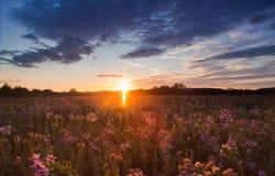 在领域的狂放的翠菊在日落 免版税库存照片