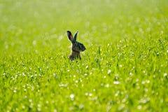 在领域的狂放的野兔 库存照片