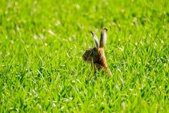 在领域的狂放的野兔 免版税库存照片