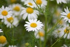 在领域的狂放的雏菊花 免版税库存图片