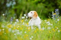 在领域的狗画象与花 免版税库存图片