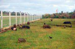 在领域的猪在机场篱芭波里尼西亚附近 免版税库存照片