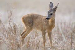 在领域的獐鹿小牛 图库摄影