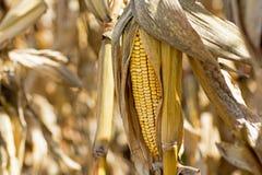 在领域的玉米棒子 玉米穗在秋天在收获农业概念前 免版税图库摄影