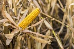 在领域的玉米棒子 玉米穗在秋天在收获前 库存照片