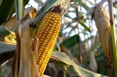 在领域的玉米棒子 免版税库存图片