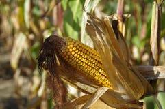 在领域的玉米棒子 图库摄影