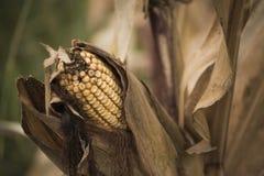 在领域的玉米棒子 免版税图库摄影
