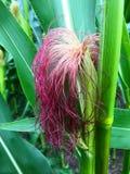 在领域的玉米 库存图片