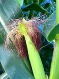 在领域的玉米 免版税库存图片