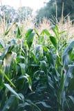在领域的玉米 库存照片