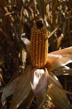 在领域的玉米 免版税库存照片