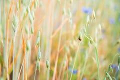 在领域的瓢虫 免版税库存照片