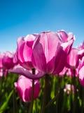 在领域的由后面照的桃红色郁金香 库存图片