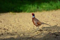 在领域的男性共同的野鸡 免版税库存图片