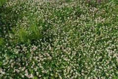 在领域的白三叶草狂放的草甸花 自然葡萄酒夏天秋天室外照片背景 免版税库存图片