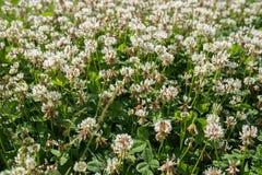 在领域的白三叶草狂放的草甸花 自然葡萄酒夏天秋天室外照片 与浅DOF的选择聚焦宏观射击 免版税库存照片