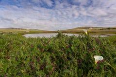 在领域的白星海芋 免版税图库摄影