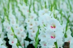 在领域的白色剑兰花 对精采秀丽和诺言的表示法 免版税库存图片